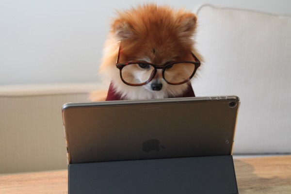 Fluffy dog with glasses looking at computer