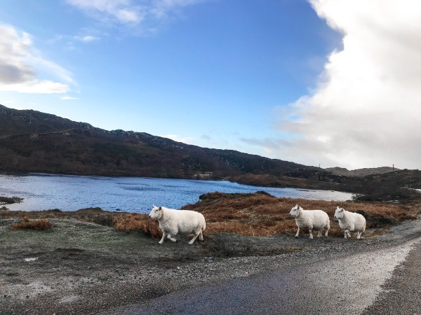 Sheep walking along a road in the Scottish Highlands